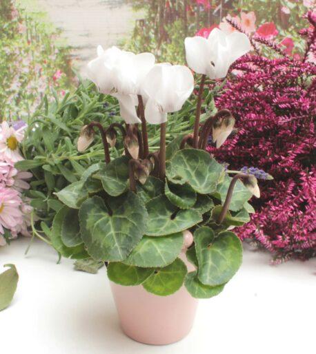 Blumentopf Krönchen Little Rose